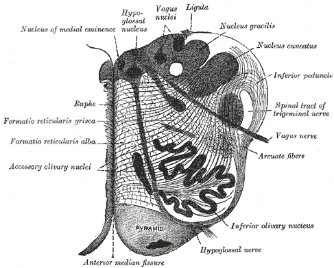 Transverse Section of Medulla